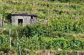 Vineyard in Tuscany — Stock Photo