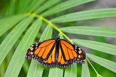 Monarch Butterfly in Rainforest — Stock Photo