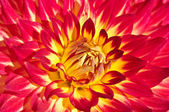 Red and Yellow Dahlia Close Up — Stok fotoğraf