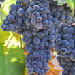Red Grapes on the Vine — 图库照片