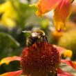 Humble-bee seating on the flower — Stock Photo