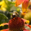 Humble-bee seating on the flower - Stock Photo