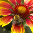 Humble-bee seating on big flower - Stock Photo