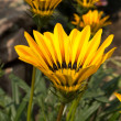 Gazania rigens in the garden - Stock Photo