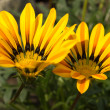 Two gazania rigens in the garden - Stock Photo