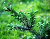Oddział zielona jodła — Zdjęcie stockowe
