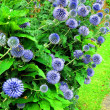 Blue flowering thistle — Stock Photo