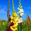 Gladiolus — Stock Photo #12030475