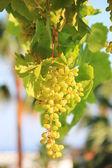 Ripening grapes — Stock Photo