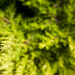 Brightly green prickly branches of a fur-tree or pine — Stock Photo