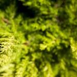 brillantes verdes espinosas ramas de un árbol de la piel o pino — Foto de Stock