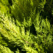 Foto Stock: Brightly green prickly branches of a fur-tree or pine