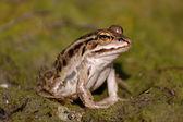 Frog with orange eyes — Stock Photo