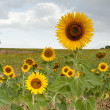 Sunflowers - Stockfoto