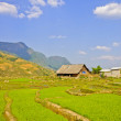 Young rice crops in Sapa — Stock Photo