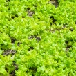 Lettuce growing in soil — Stock Photo