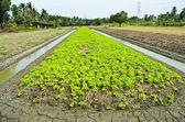 Pola uprawy sałata — Zdjęcie stockowe