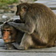 Monkey behavior — Stock Photo