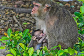 Monkey breastfeeding its baby — Stock Photo