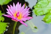 Flor del lirio de agua color de rosa — Foto de Stock