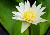 白色睡莲 — 图库照片