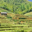 Stock Photo: Rice fields in Sapa, Vietnam