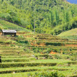 Rice fields in Sapa, Vietnam — Stock Photo