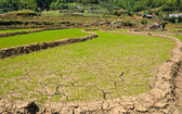 Young rice field — Stock Photo