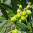 Royalty-Free Stock Photo: Olive 42
