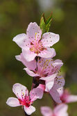 Flower from peach tree 02 — Stock Photo