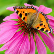Stock Photo: Small Tortoiseshell on Purple Coneflower 03