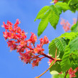 Stock Photo: Horse chestnut flower 03