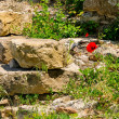 Stock Photo: Klatschmohn vor Mauer - corn poppy before wall 08