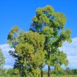 Stock Photo: Eucalyptus 12