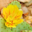 Opuntia 16 — Stock Photo
