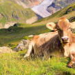 Stock Photo: Alp cow 22