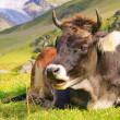 Alp cow 23 — Stock Photo