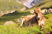 Alp cow 22 — Stock Photo