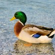 Stock Photo: Duck 15