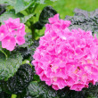 Hortensia 07 — Stock Photo