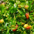 Jujube 01 — Stock Photo