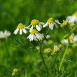 Camomile 18 — Stock Photo #11414662