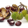 Conker 11 — Stock Photo #11414855