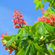 Stock Photo: Horse chestnut flower 04