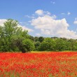 Stock Photo: Corn poppy in field 08