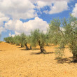 Stock Photo: Olive grove 25