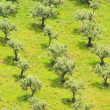 Stock Photo: Olive grove 26
