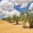 Stock Photo: Olive grove 28