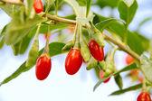 Goji berry 07 — Stock Photo