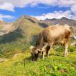Alp cow 20 — Stock Photo